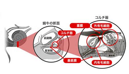 内有毛細胞(ないゆうもうさいぼう) | スマート補聴器(デジタル補聴器)のリサウンド